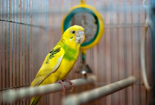 Клещи у попугаев - как вылечить