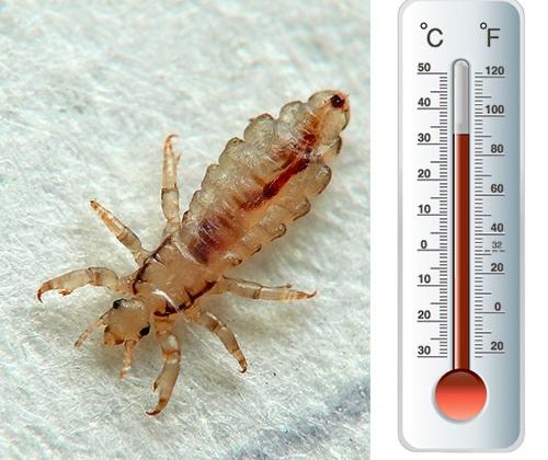 При какой температуре умирают вши и гиды