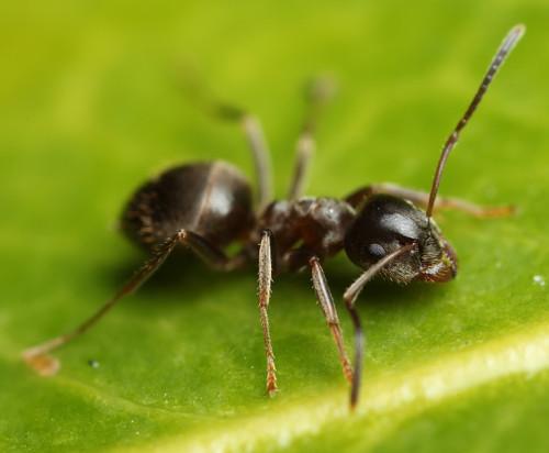 Естественные вредители садовых черных муравьев