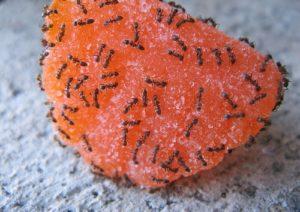 муравьи не брезгуют органическими остатками