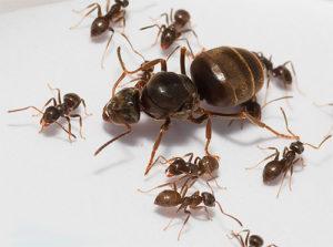 Матка домашнего муравья