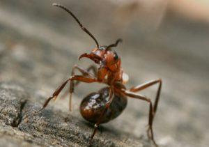В брюшке насекомых находится железа с ядом