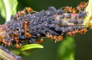 рыжие муравьи в саду