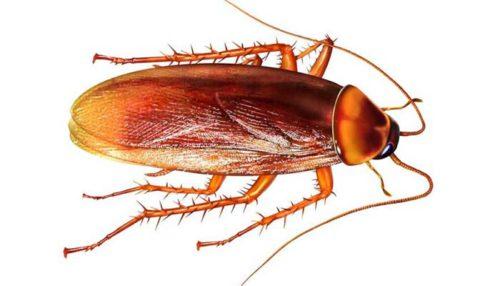Структура тела таракана
