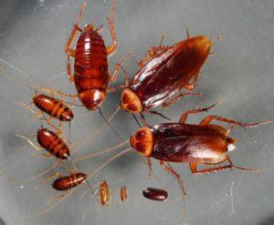 Живут рыжие тараканы большими колониями